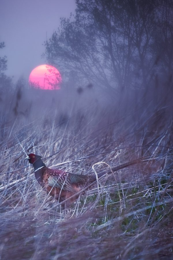 Mystery of Pheasant